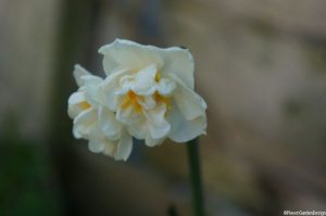 Narcissus 'bridal crown', spring flowering bulbs, forcing bulbs for christmas, daffodil