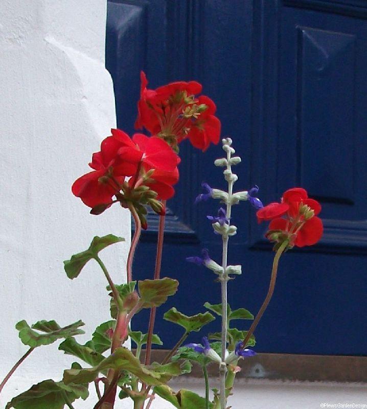 Team GB, container planting, red pelargonium, front garden