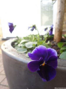 Viola, pansy, container planting, front garden