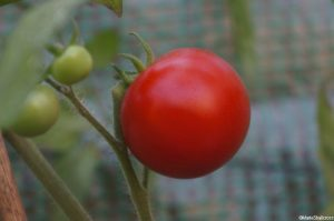tomato 'super marmande', beef steak tomato, greenhouse, marie shallcross