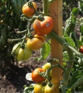 outdoor tomatoes still to ripen, marie shallcross