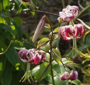 turks head lily at ightham mote, marie shallcross
