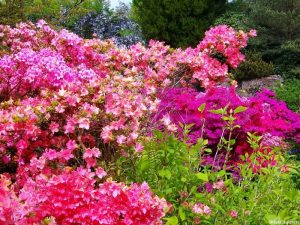 azaleas, scotney castle, marie shallcross, kent, national trust garden