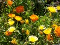 calendula, yellow and orange, edible flowers, companion planting