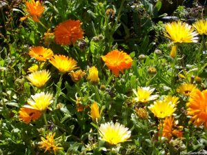 calendula, yellow and orange, edible flowers, companion planting