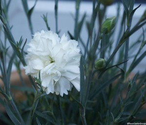 white dianthus, perennial,scented, edible flowers