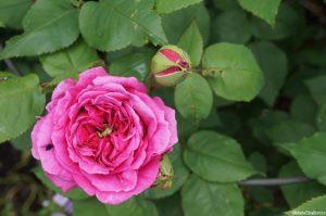 rosa 'gertrude jekyll'