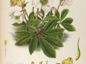 Helleborus niger , illustration, courtesy Missouri Botanical Garden