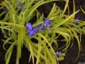 Tradescantia 'blue 'n' gold', herbaceous perennial, tradescant