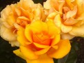 Golden Roses, Rosa 'golden showers'
