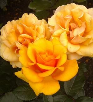 Golden Roses, Rosa 'golden showers'