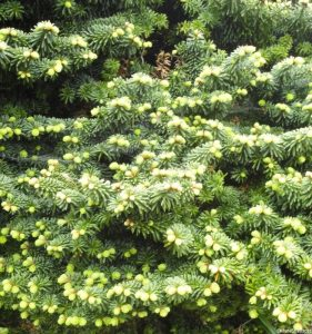 Abies balsamea 'Nana', conifer, emmetts garden