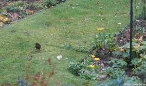 blackbird, lawn, garden birds