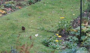 blackbird, lawn, garden birds