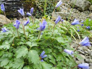 blue anemone, rock garden, emmetts