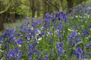 Bluebells, hyacinthoides non scripta, bluebell wood, emmetts garden, kent