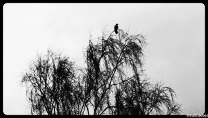 crow in tree, winter, black and white photo