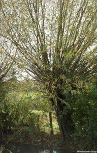 pollarded willow by stream, pollarding