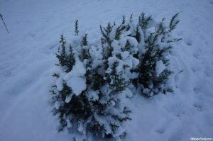 rosemary in the snow, evergeen herb