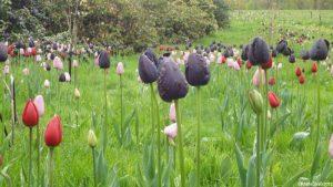 tulips, emmetts garden, kent