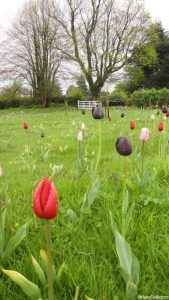 tulips in the meadow, emmetts garden, kent