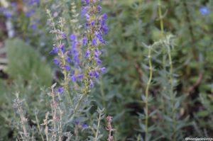 Hyssop, purple flowers, herb