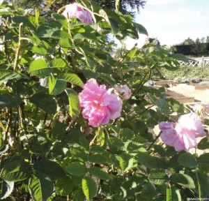 Rosa x alba 'great maidens blush', elizabethan garden, kenilworth castle