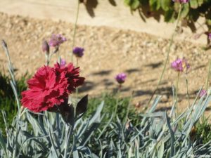 carnation, elizabethan garden, kenilworth castle