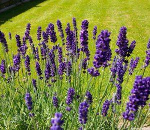 english lavender, herb