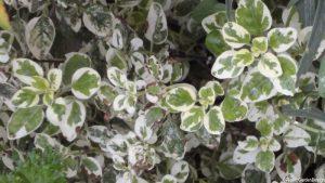 silver variegated oregano
