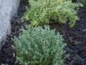 thyme edging flower border next to path, planting design, evergreen herb