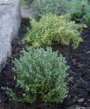 thyme edging flower border next to path, planting design, evergreen herb