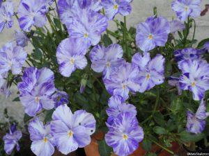viola oderata, sweet violets, perennial