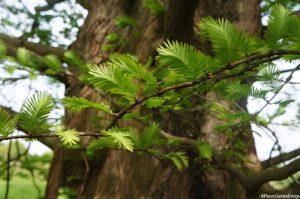 Metasequoia glyptostroboides, leaf