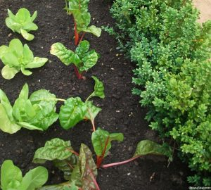 chard, lettuce catch crop, box hedge, potager, intercropping