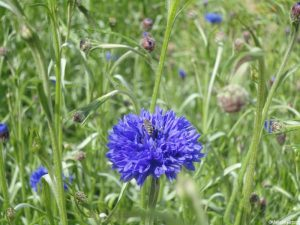 blue annual cornflower, bee, wildflower meadow