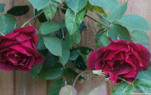 rose 'etoile de Hollande', red rose, climbing rose, scented climber