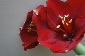 Hippeastrum, amaryllis, bulb, christmas, red flower, poisonous flowering bulb