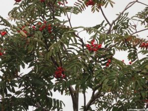 Rowan tree, mountain ash, sorbus acuparia, red berries