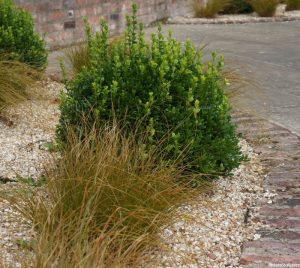 box, carex, gravel garden, patchwork gardens, york quilt museum, buxus sempervirens, ornamental grasses