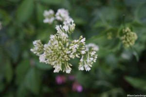 centranthus rubra alba flower, white valerian, herbaceous perennial, cottage garden
