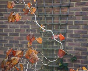 corkscrew hazel, planting design, corylus avellana, hazel tree