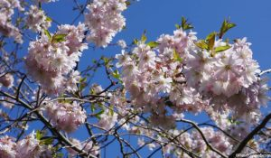 ornamental cherry blossom, spring, deciduous tree