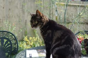 Reepicheep, tabby cat, summer gardens, fennel