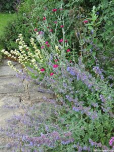 cottage garden flower border, stone path, nepeta 'six hills giant', lychnis coronaria, sisyrinchium