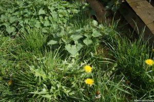edible weeds, dandelions, nettles, lawn,urticaria dioecia, taraxacum officinale