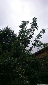 espalier apple trees, summer pruning