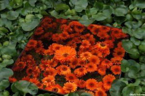 orange gerbera, mirrored planter, world vision garden, rhs hampton court flower show 2015