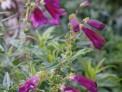 penstemon 'raven', cottage garden
