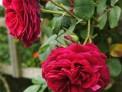 rose 'tess of the durbervilles', red rose, deciduous shrub